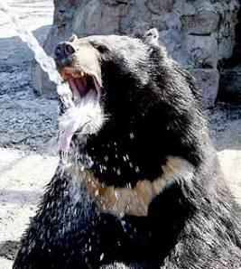 urso_negro